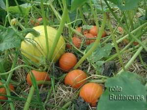 buttercup-amazonka