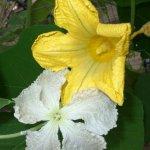 weiße Blüte vom Flaschenkürbis