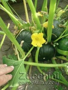 runde-zucchini-mit-bluete