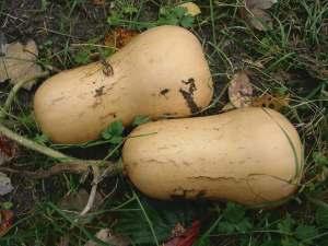 walham-butternut